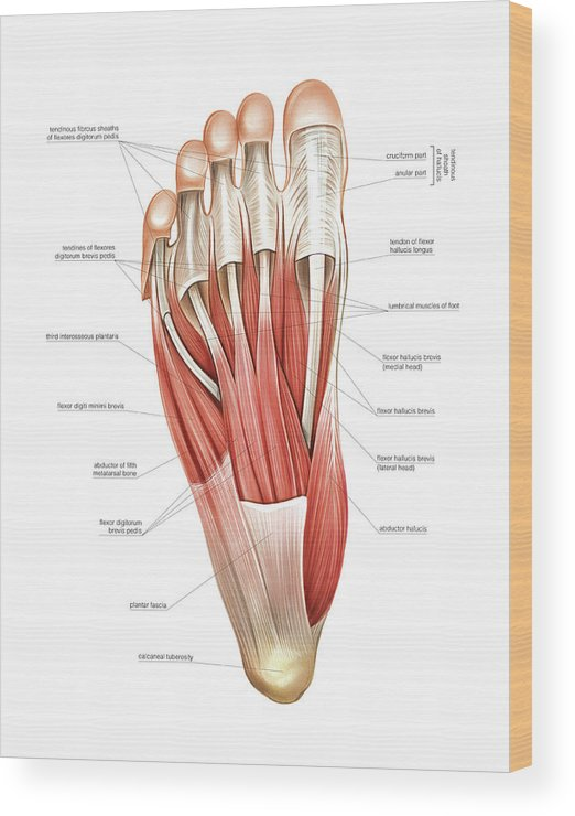 Interosseous Muscles Of The Foot Wood Print By Asklepios Medical Atlas