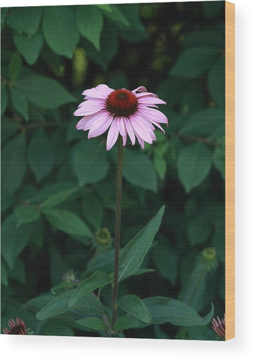 Nature Photo Wood Print featuring the photograph African Daisies 8 by Vivian Cosentino