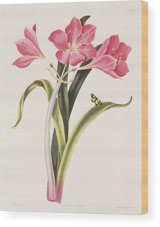 Amaryllis Purpurea Wood Print featuring the painting Amaryllis Purpurea by Robert Havell