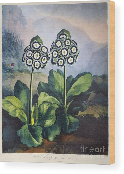 1807 Wood Print featuring the photograph Thornton: Auriculas by Granger