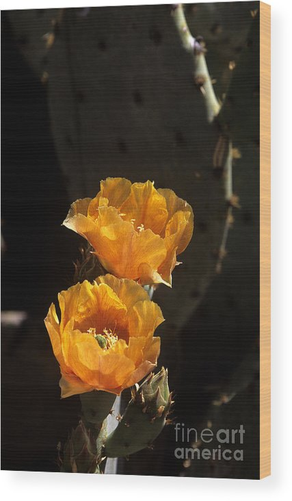 Cactus Wood Print featuring the photograph Apricot Blossoms by Kathy McClure