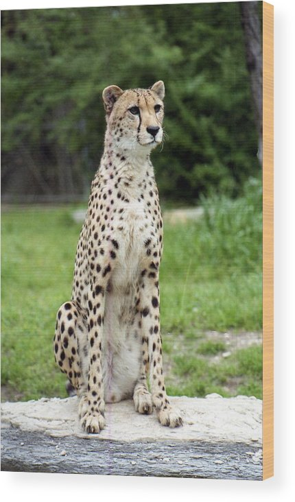 Cheetah Wood Print featuring the photograph Cheetah's 01 by Pamela Critchlow