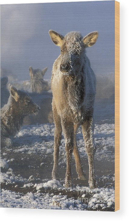 Yellowstone Wood Print featuring the photograph Hoarfrosted Elk Calf by Sandra Bronstein