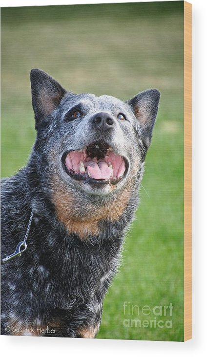 Cattle Dog Wood Print featuring the photograph Laughing Dog by Susan Herber