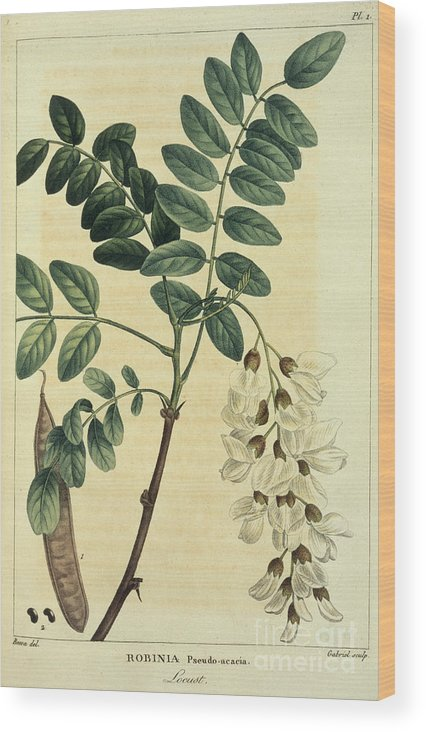 Tree Wood Print featuring the photograph Locust Tree by British Library