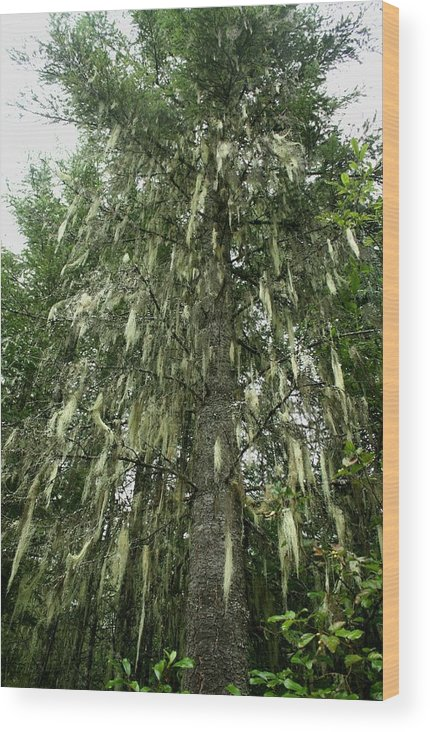 Witches Hair Wood Print featuring the photograph Witches Hair On Tree by Amanda Holmes Tzafrir