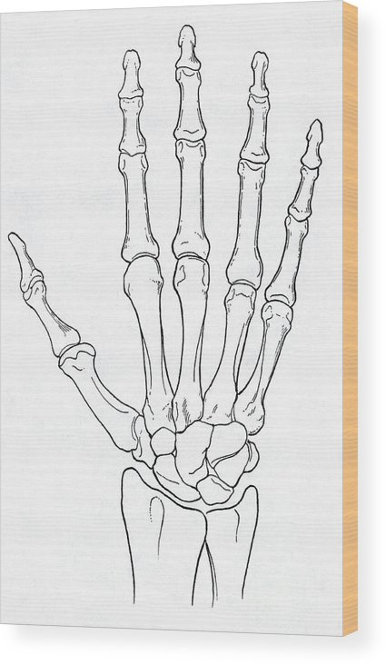 Hand And Wrist Bones Wood Print By Science Source
