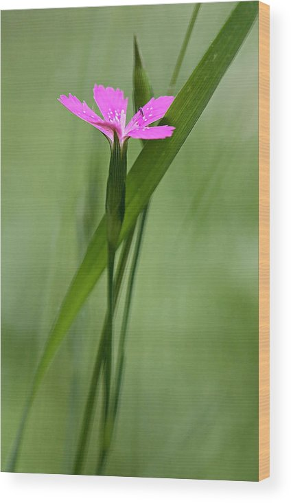 New England Wood Print featuring the photograph Deptford Pink - Dianthus by Thomas J Martin