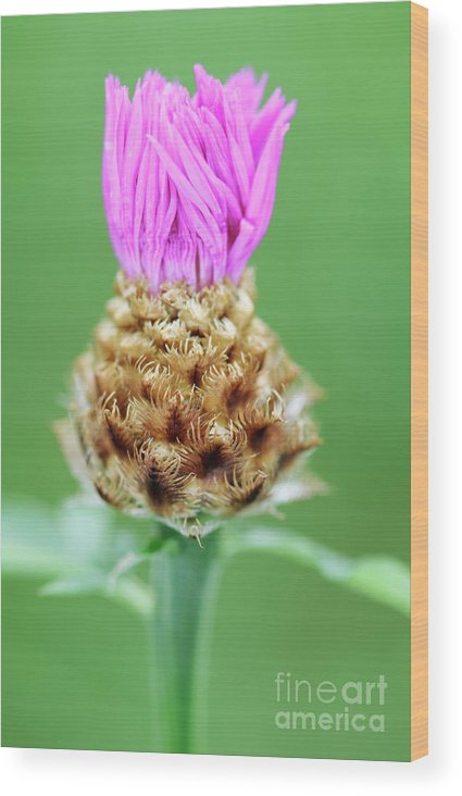 Centaurea Karabaghensis Wood Print featuring the photograph Knapweed Flower by Neil Overy