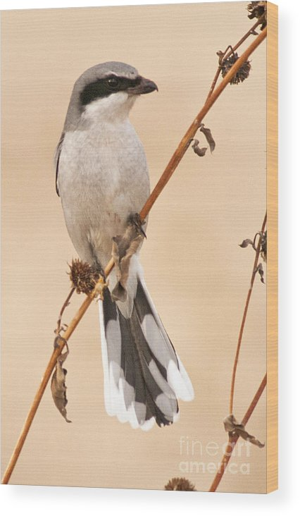 Northern Shrike Wood Print featuring the photograph Northern Shrike by Earl Nelson