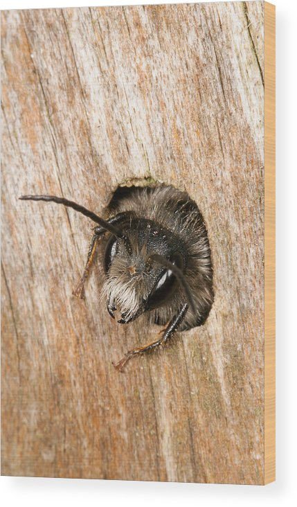 Andrena Wood Print featuring the photograph Who Goes There by Bob Kemp