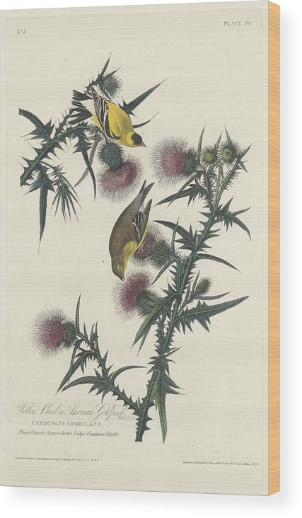 Audubon Wood Print featuring the drawing American Goldfinch by Dreyer Wildlife Print Collections