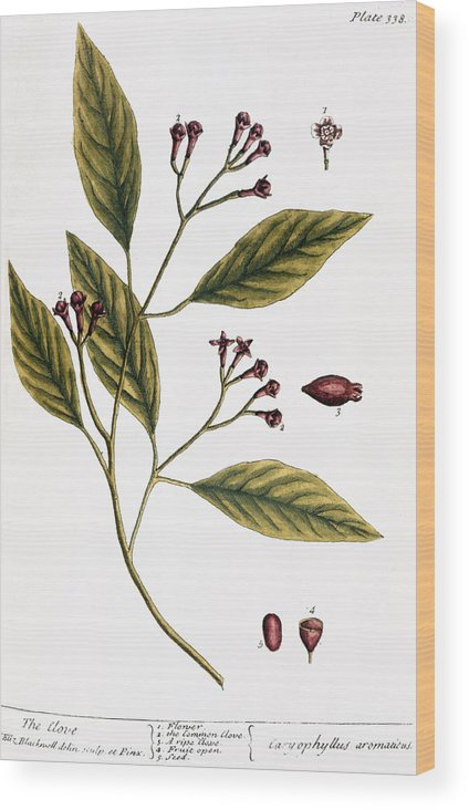1730s Wood Print featuring the photograph Cloves, 1735 by Granger