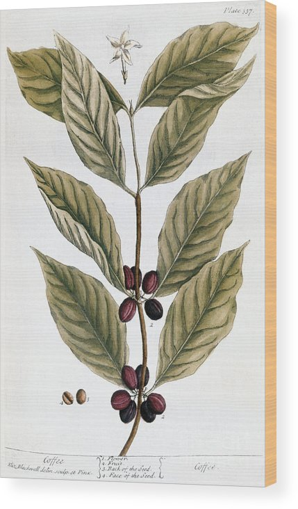 1730s Wood Print featuring the photograph Coffee Plant, 1735 by Granger