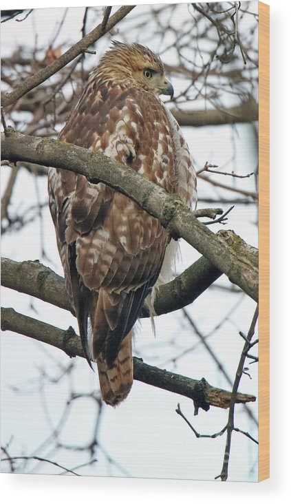 Bird Wood Print featuring the photograph Coopers Hawk Winter by Steve Gass