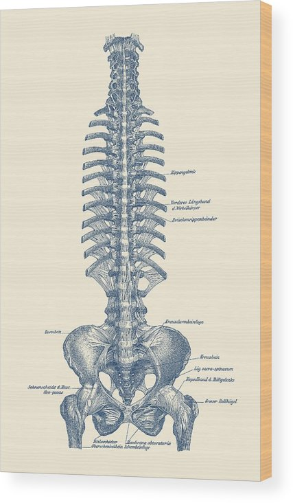 human spine and pelvis simple diagram vintage anatomy wood print rh fineartamerica com human lumbar vertebrae diagram human lumbar vertebrae diagram
