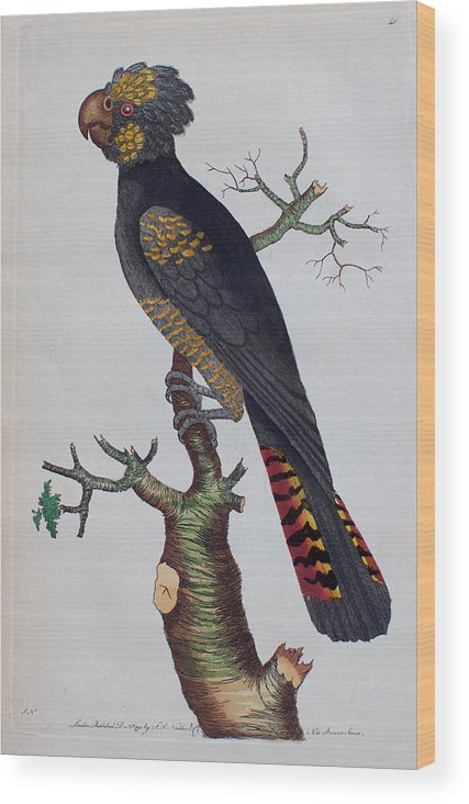 Red-tailed Wood Print featuring the drawing Red-tailed Black Cockatoo 1790 by Nodder