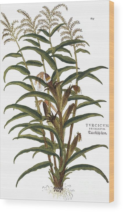1730s Wood Print featuring the photograph Turkish Corn, 1735 by Granger