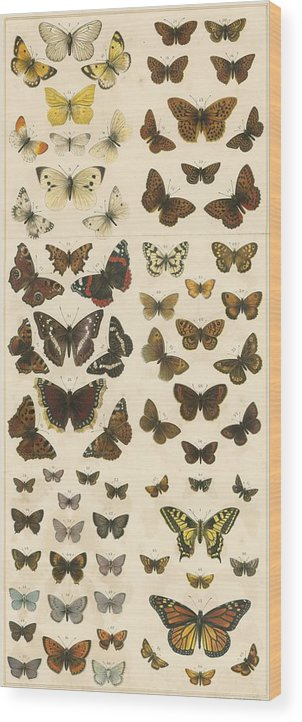 Educational; British Butterflies; Butterfly; Entomology Wood Print featuring the painting British Butterflies by English School