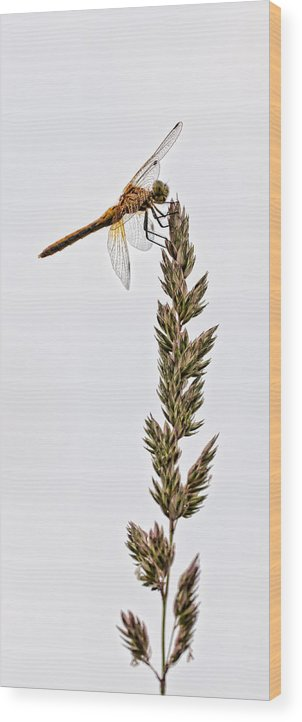 Bug Wood Print featuring the photograph Dragonfly by Chris ODonoghue