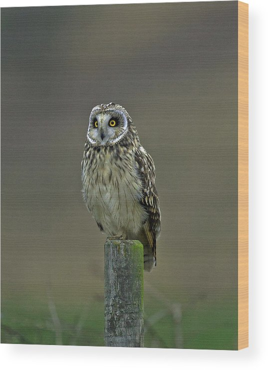 Asio Flammeus Wood Print featuring the photograph Short Eared Owl by Paul Scoullar