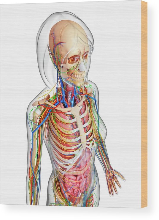 Artwork Wood Print featuring the photograph Female Anatomy by Pixologicstudio/science Photo Library