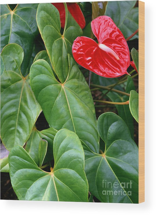 Flower Wood Print featuring the photograph Anthurium by Edmund Nagele