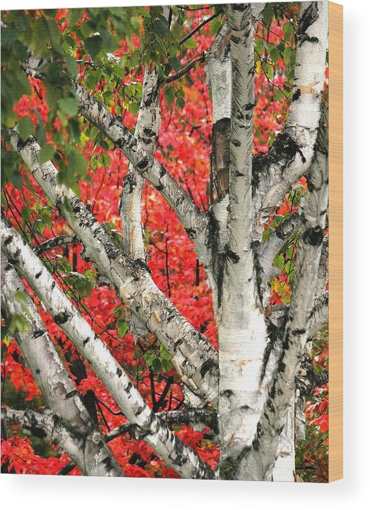 Birch Wood Print featuring the photograph Birch Eclipsing Maple by Doris Potter