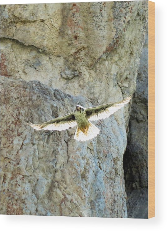 Prairie Wood Print featuring the photograph Diving Falcon by Darcy Tate