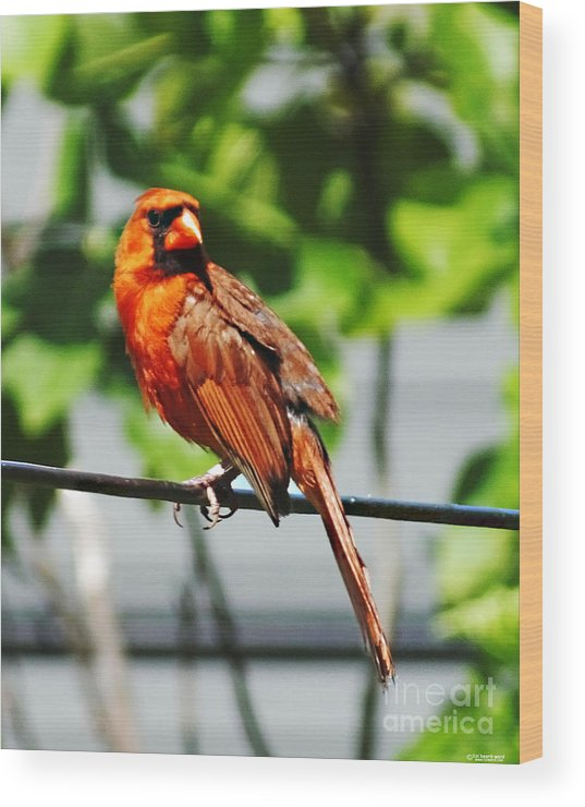 Cardinal Wood Print featuring the photograph Dressed In Red by Lizi Beard-Ward