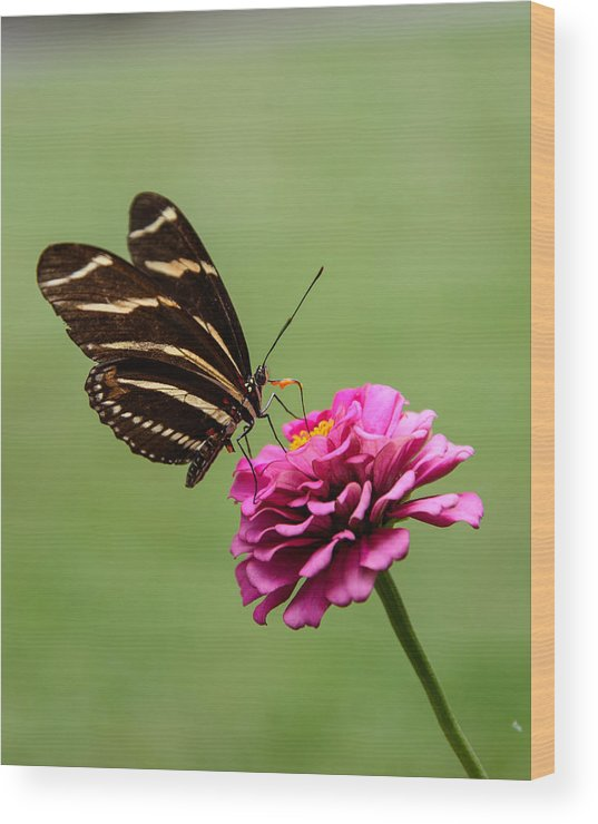 Butterfly Wood Print featuring the photograph Having Lunch by Martha Lyle