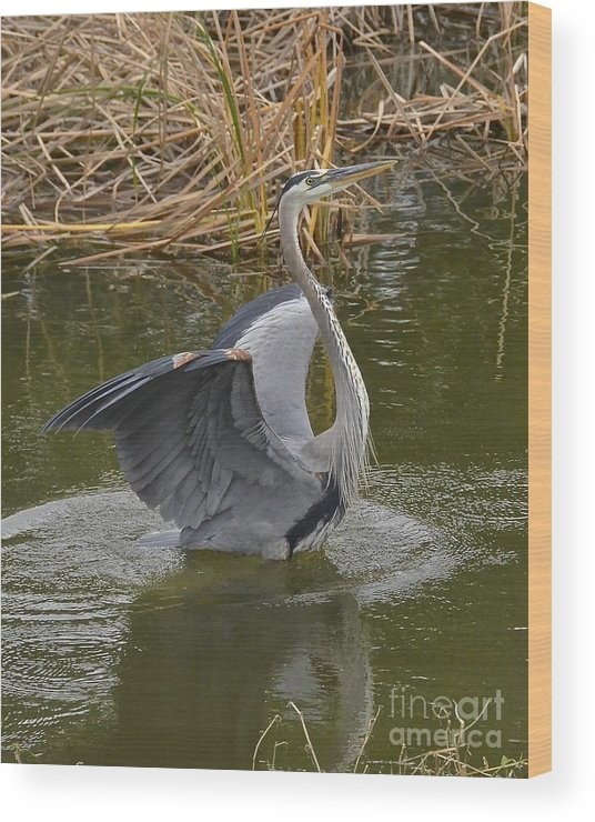 Heron Wood Print featuring the photograph Hey Look Me Over by Carol Bradley