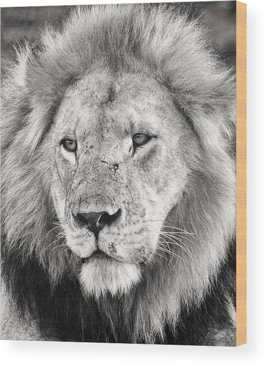 3scape Wood Print featuring the photograph Lion King by Adam Romanowicz