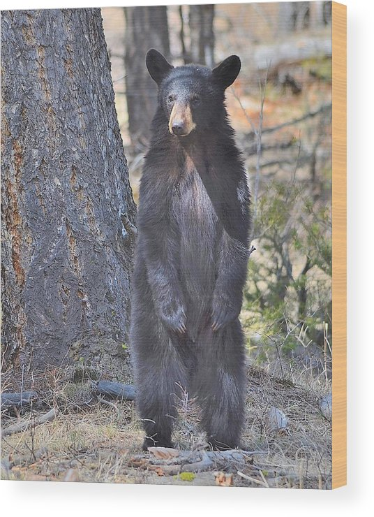 Black Bear Wood Print featuring the photograph Standing Tall by Kevin Spriggs
