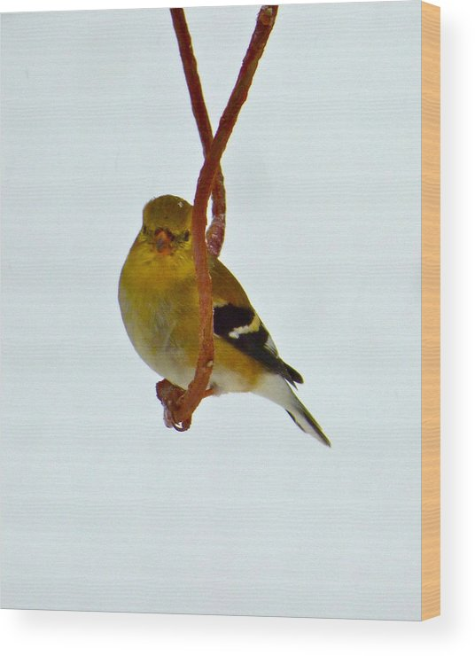 Goldfinch Wood Print featuring the photograph Trapeze Artist by Jean Wright