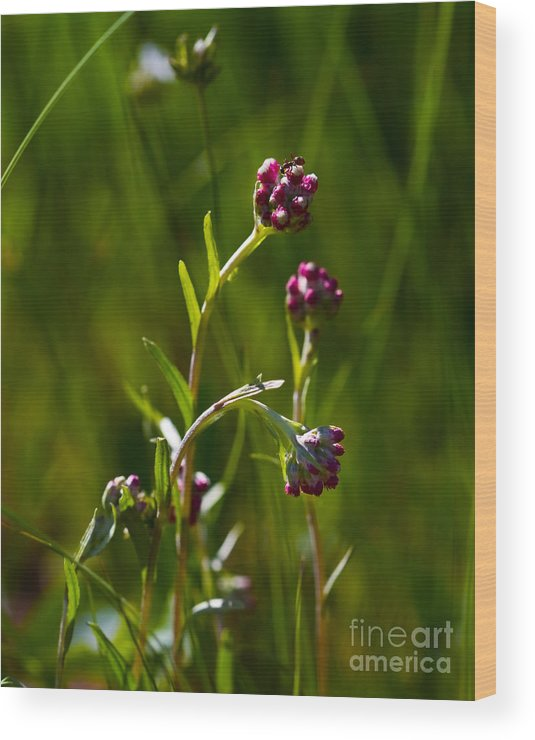 Alpine Wood Print featuring the photograph Rosy Pussytoes Wildflowers At Lake Irwin by Crystal Garner