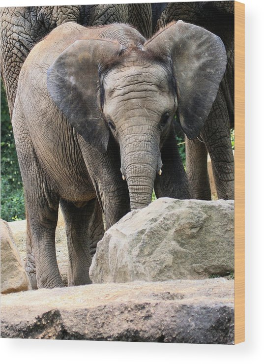 African Elephant Wood Print featuring the photograph Baby Elephant by Angela Rath