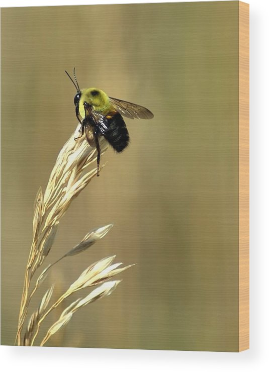 Bee Wood Print featuring the photograph Bumble Bee by Nathan Gihoul