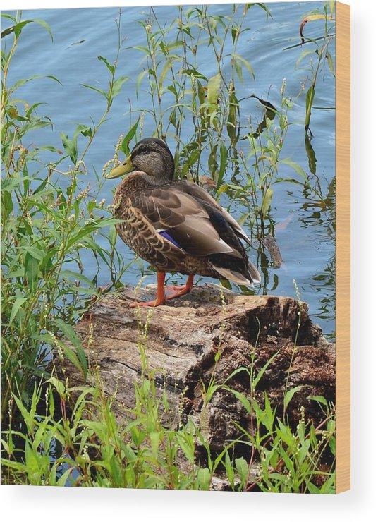 Duck Wood Print featuring the photograph Duck Season by Mark Bowmer