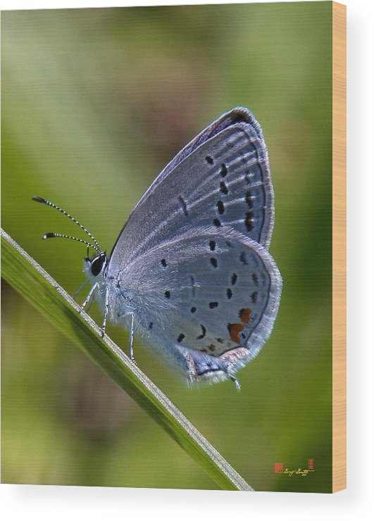 Spring Wood Print featuring the photograph Eastern Tailed-blue Butterfly Din045 by Gerry Gantt