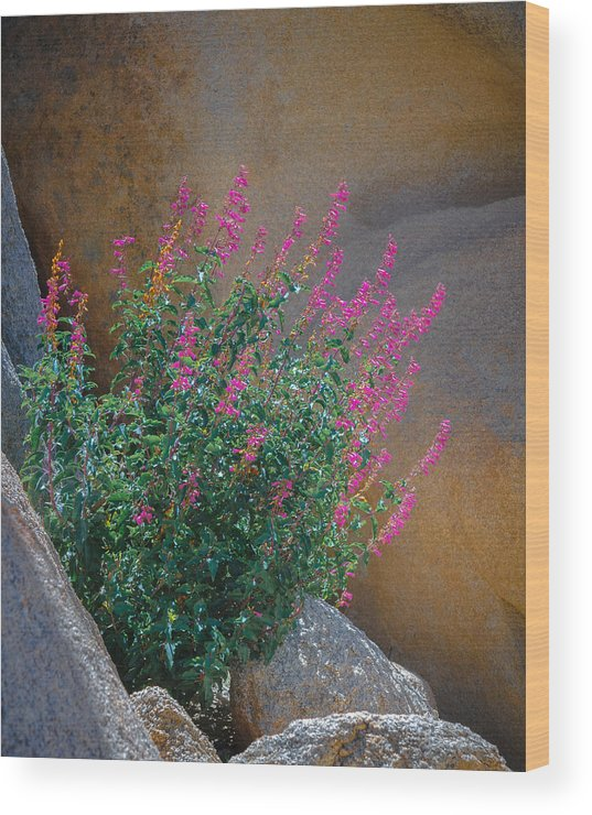 Flower Wood Print featuring the photograph Cleveland's Beardtongue by Joseph Smith