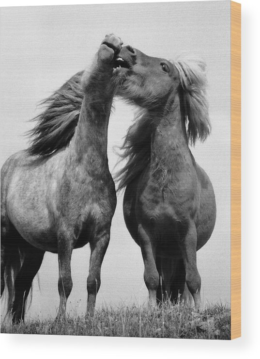 Wood Print featuring the photograph Horses 6 by Stephen Harris