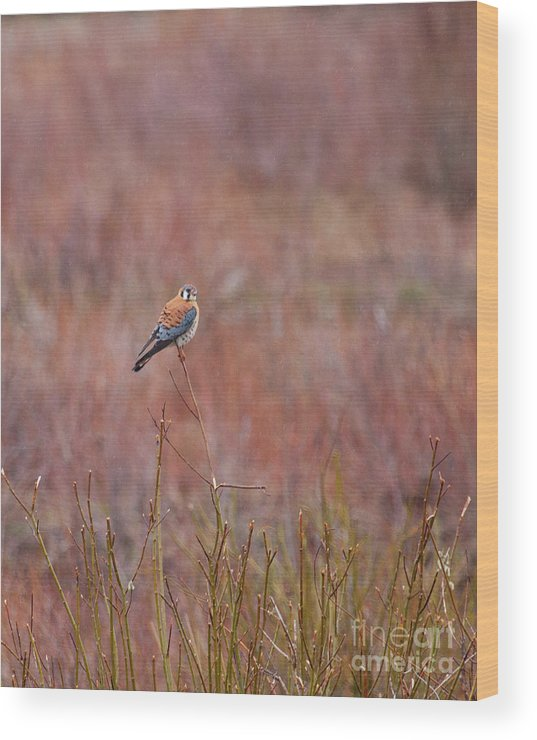 American Kestrel Wood Print featuring the photograph A Pause by Katie LaSalle-Lowery