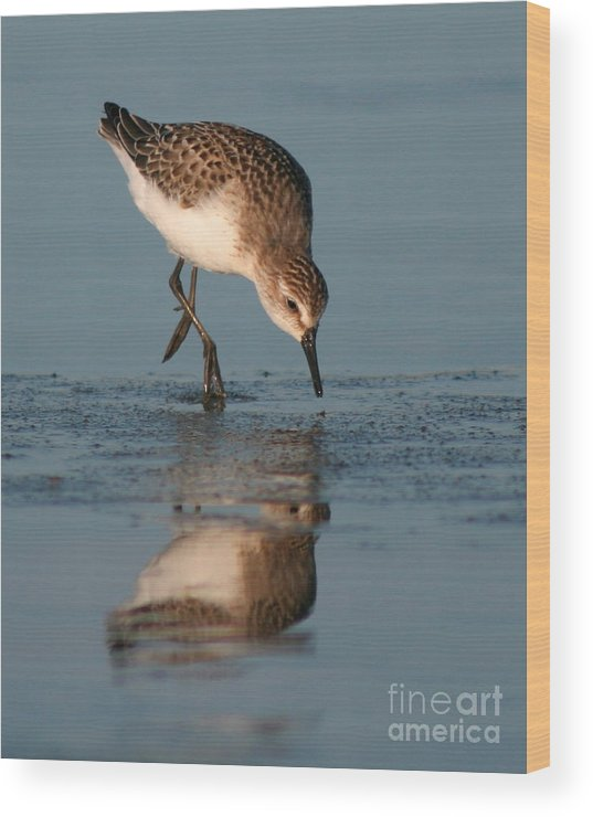 Sanderling Wood Print featuring the photograph Ballet Feeding Of A Sanderling by Max Allen