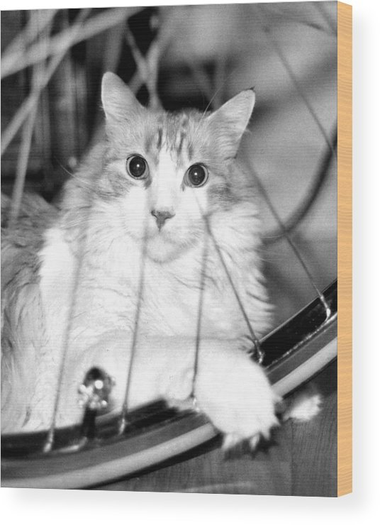 Cats Wood Print featuring the photograph Bicycle by Heather S Huston