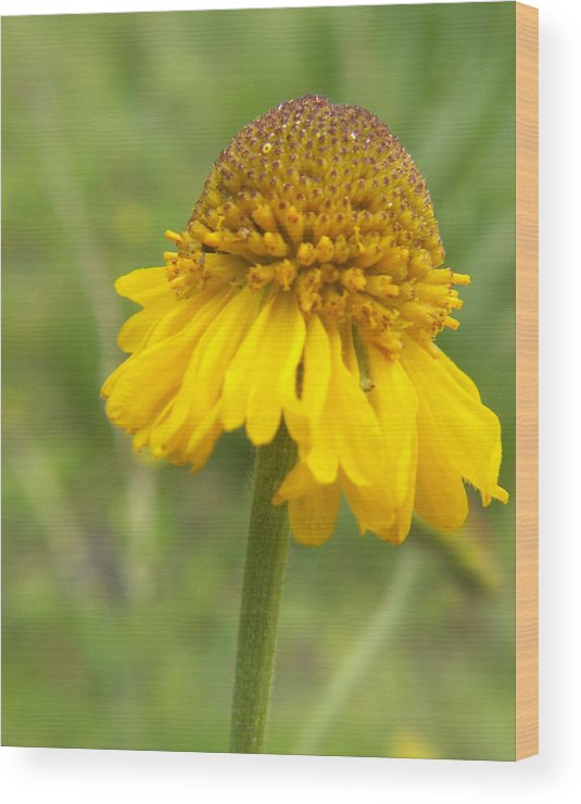 Flower Wood Print featuring the photograph Bigelow by Amy Fose