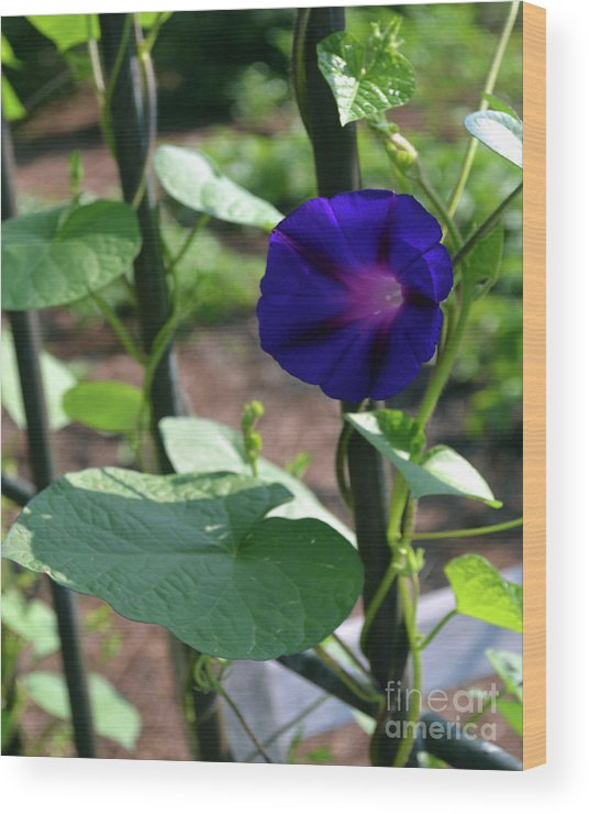 Morning Glory Wood Print featuring the photograph Blue Morning Glory Vine by Eva Thomas