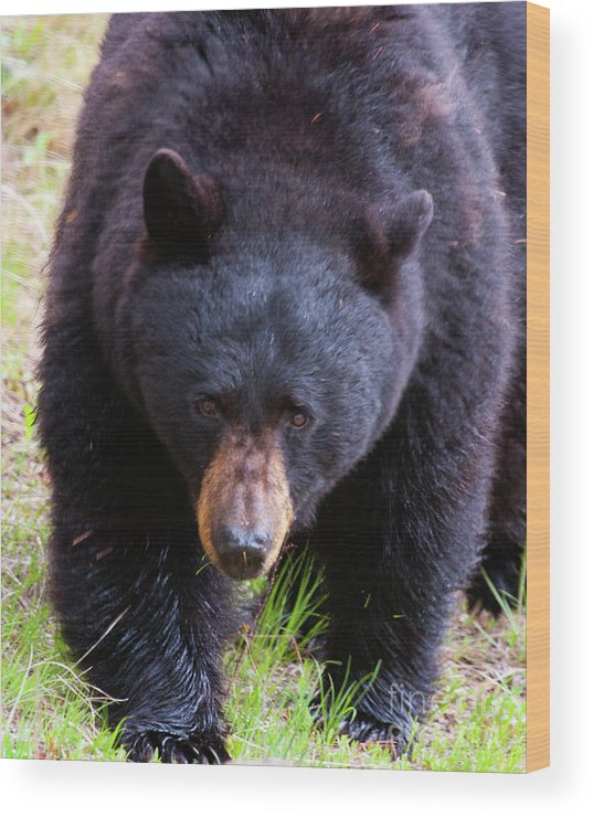 American Black Bear Wood Print featuring the photograph Breakfast Bell by Katie LaSalle-Lowery