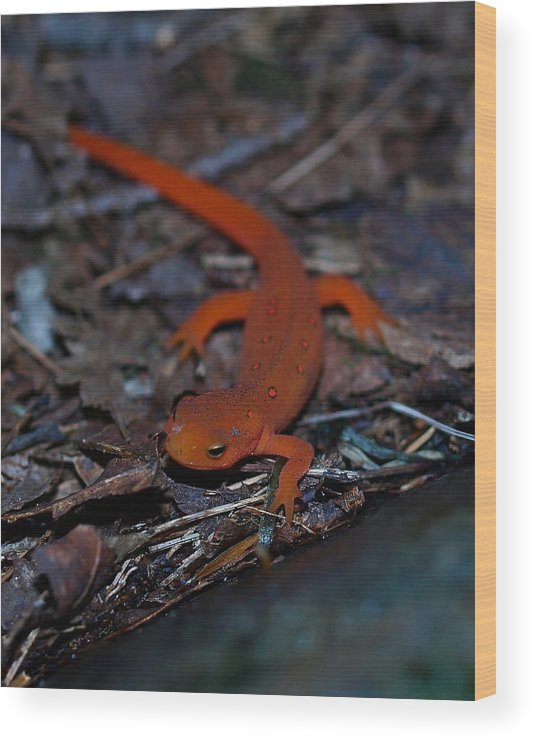 Reptiles Wood Print featuring the photograph Curious Eft by Peter Gray