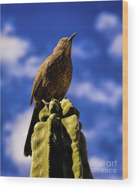 Bird Wood Print featuring the photograph Curved Billed Thrasher by Jon Burch Photography